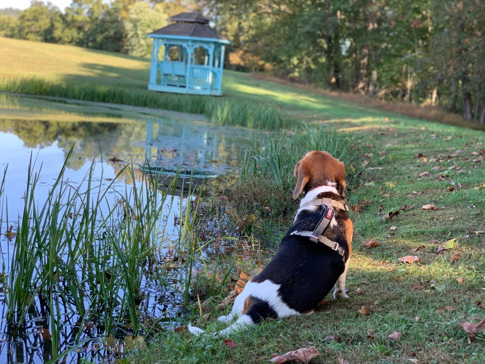 My dog Charlie sitting by the fish pond on my farm. She is gazing out over the water.