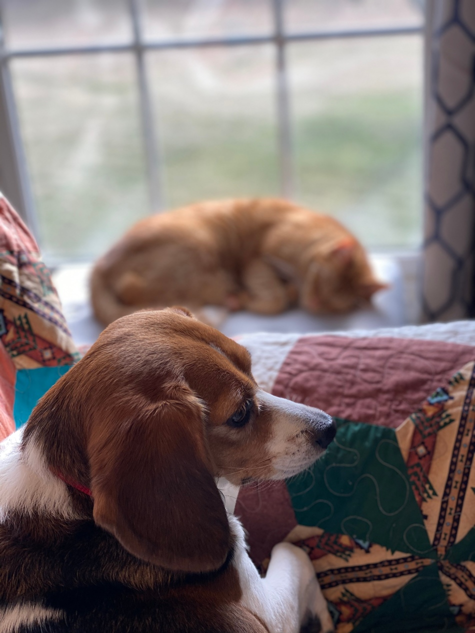 In the background, an orange house cat is napping on a sunny windowsill. While a beagle sits on a couch close to the window.